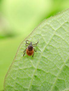 maladie Lyme2