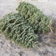 Collecte des sapins de Noël – 14 et 28 janvier
