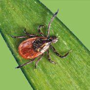 Tiques et malade de Lyme: comment prévenir les piqûres?